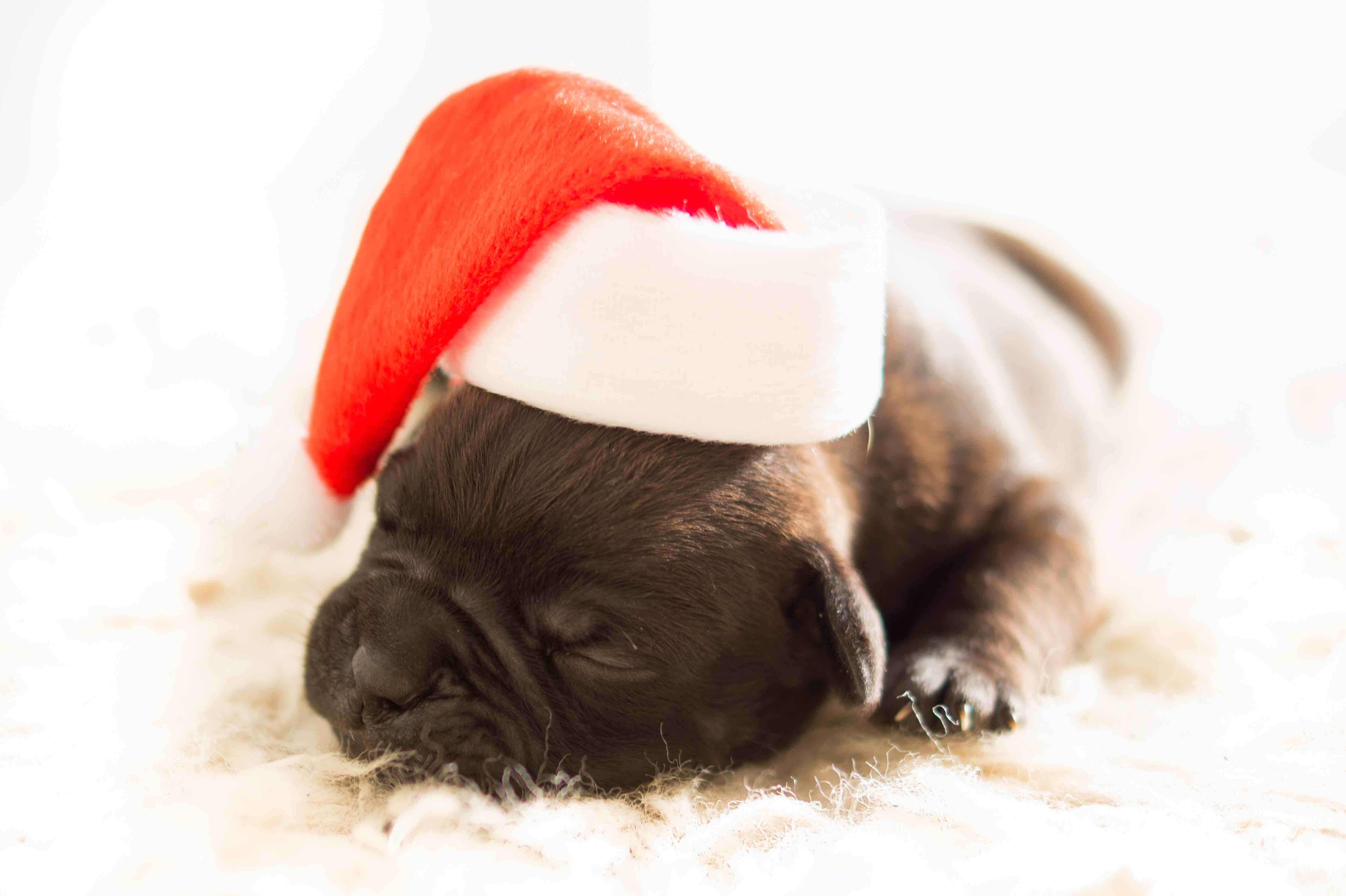 dog-christmas-xmas-bulldog1